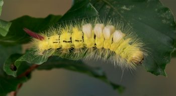Pudibonde (Calliteara pudibunda)