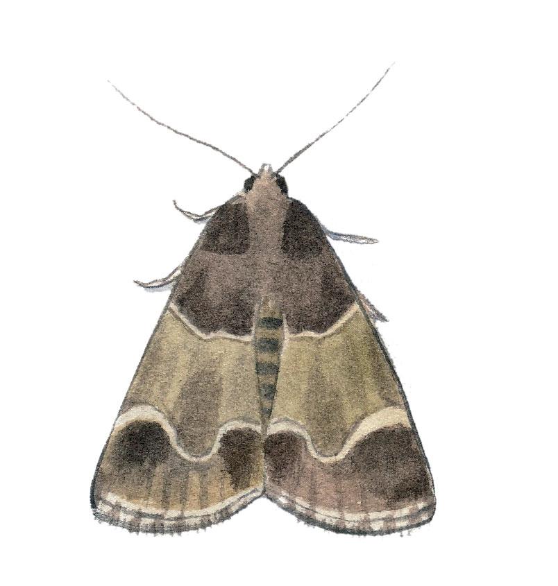 Pyrale de la farine (Pyralis farinalis)