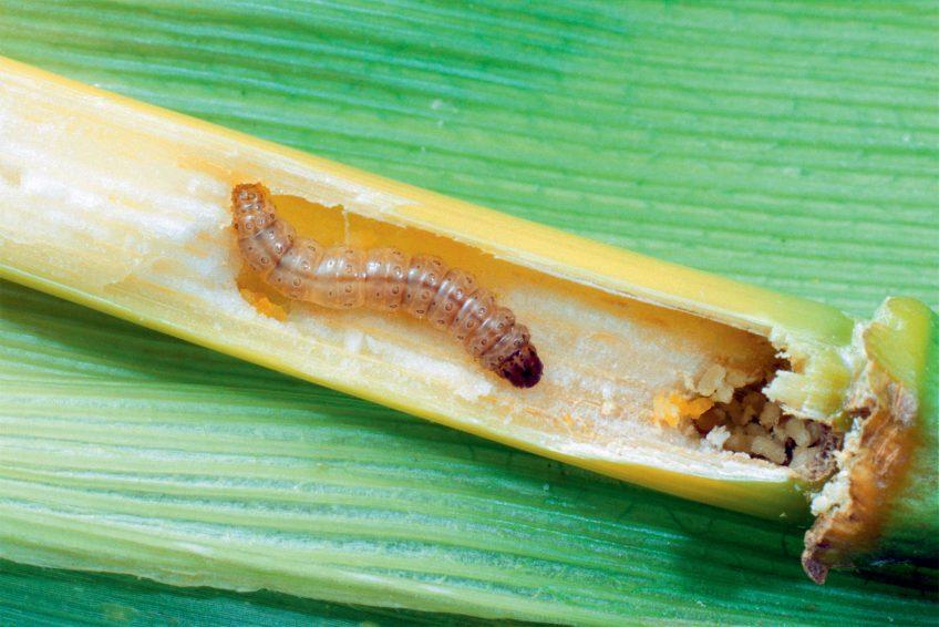 Chenille Pyrale du maïs (Ostrinia nubilalis)