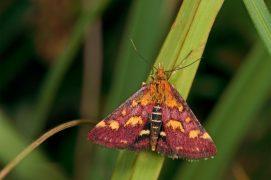 Pyrauste pourprée (Pyrausta purpuralis) / © Frank Hecker