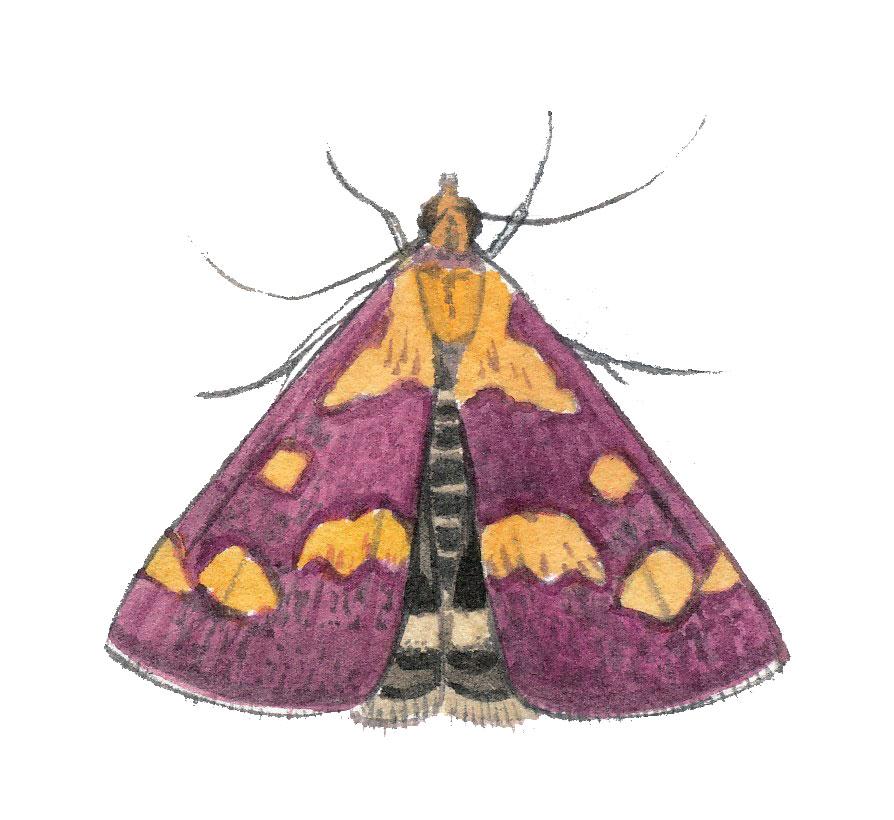 Pyrauste pourprée (Pyrausta purpuralis)
