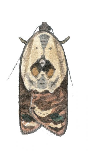 Tordeuse chagrinée (Acleris variegana)