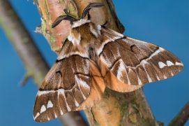 Versicolore (Endromis versicolora) / © Frank Hecker