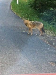 Rare photo d'un chacal doré en Suisse, Morcles, Vaud