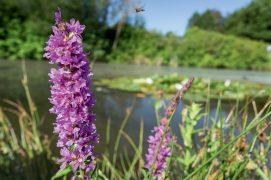 La salicaire commune est très répandue à proximité des cours d'eau. / © AdobeStock