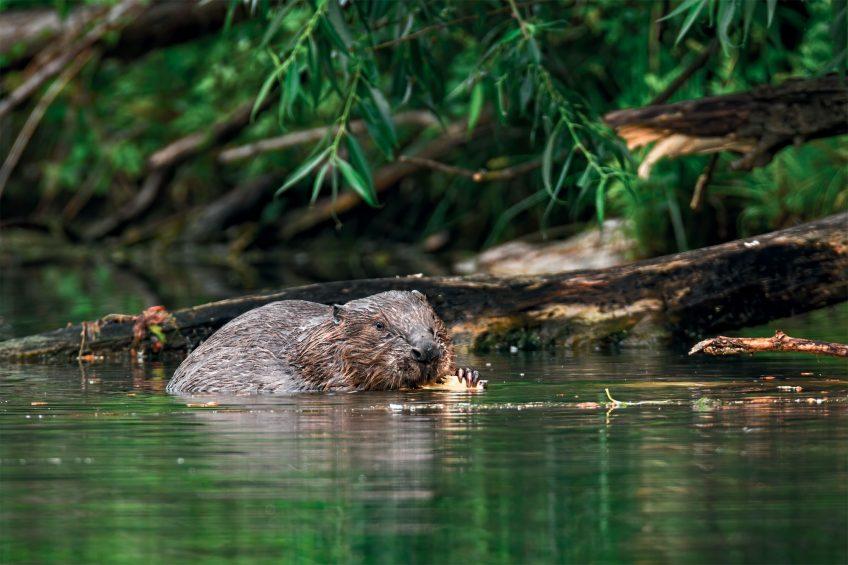 Balade naturaliste le long de la Venoge, de mares en île castor