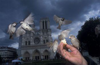 Le parvis de Notre-Dame aurait vu ses derniers moineaux vers 2017 alors qu'en 2013, une bande d'environ 150 oiseaux animait encore les lieux.