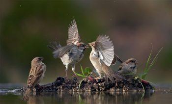 L'oiseau par excellenceEn l'appelant piaf, on l'assimile à tous ses cousins volatiles. Avec son nom scientifique Passer, il est à l'origine de l'immense ordre des passereaux. Le moineau est un peu comme le modèle original.