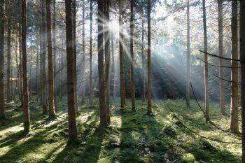 forêt viege