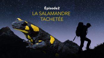 Nos amis sauvages la salamandre