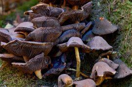 Le manque de pluie rend parfois difficile l'identification de certains champignons.  / © Corinne Aeberhard