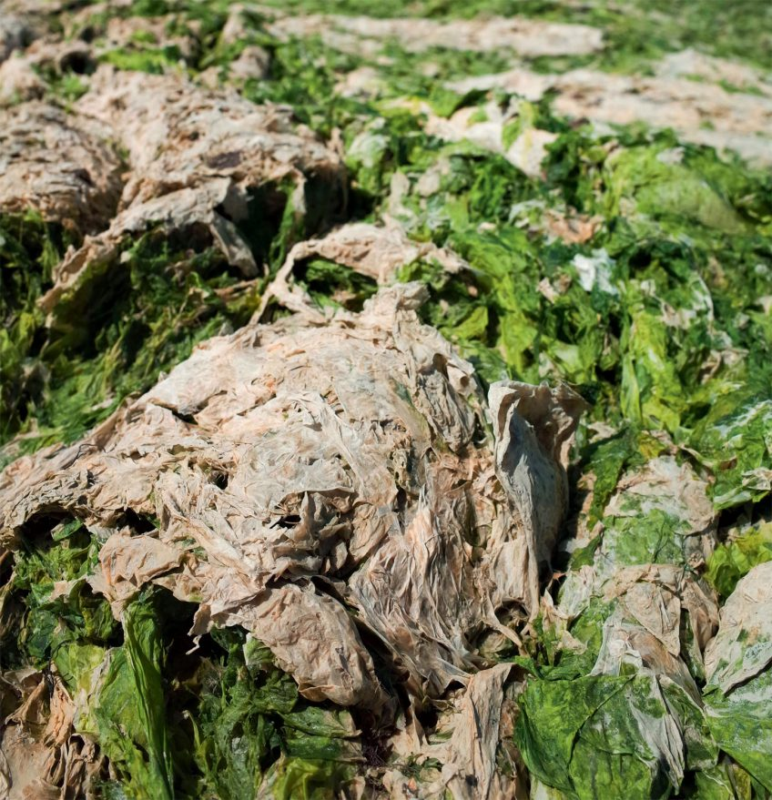 Algue verte Ulva armoricana