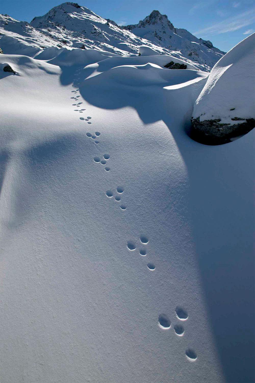 Le lièvre variable immortalisé par le photographe Olivier Born
