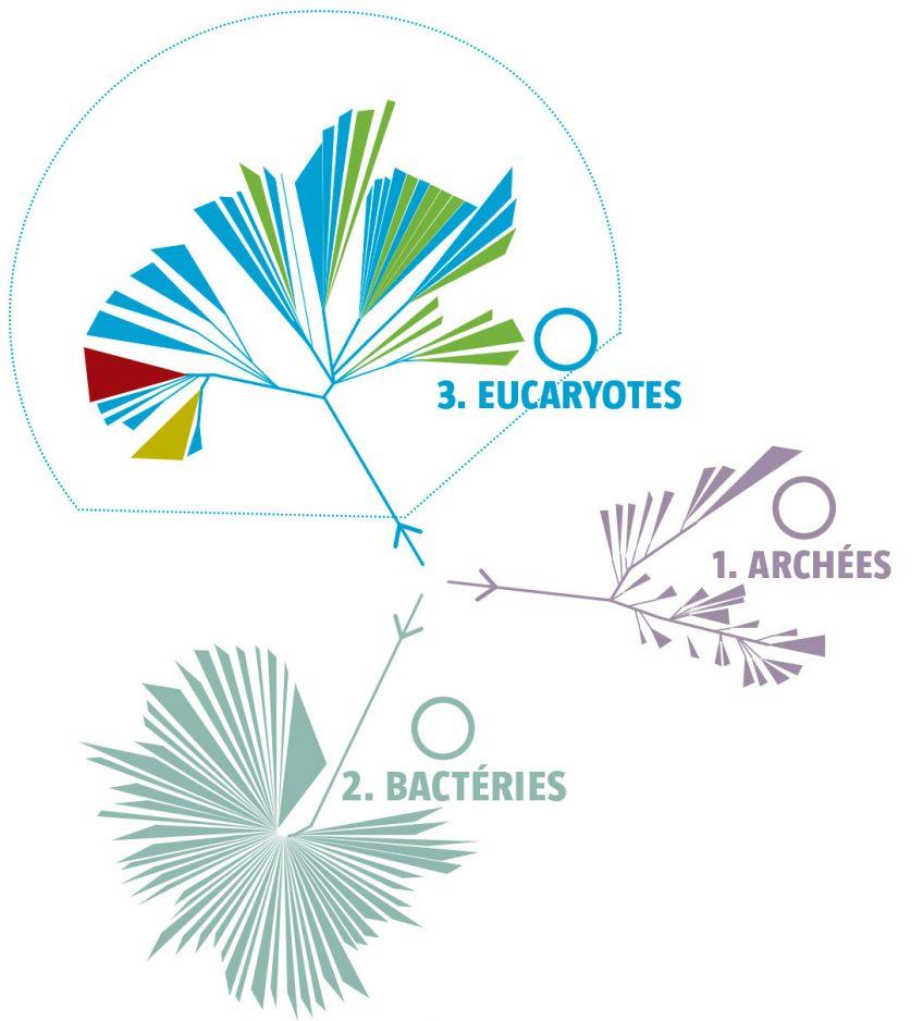 Quelle est la place des algues dans la classification du vivant ?