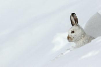 Lièvre variable (Lepus timidus) au gîte mue pour l'hiver, montagnes, Alpes, Suisse.