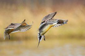 Couple de canards pilets. / © Minden Pictures / Jan Wegener / BIA / Biosphoto