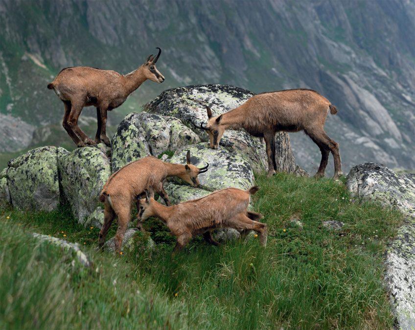 Chamois : quel avenir pour le mammifère des montagnes ?