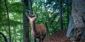 Chamois en forêt