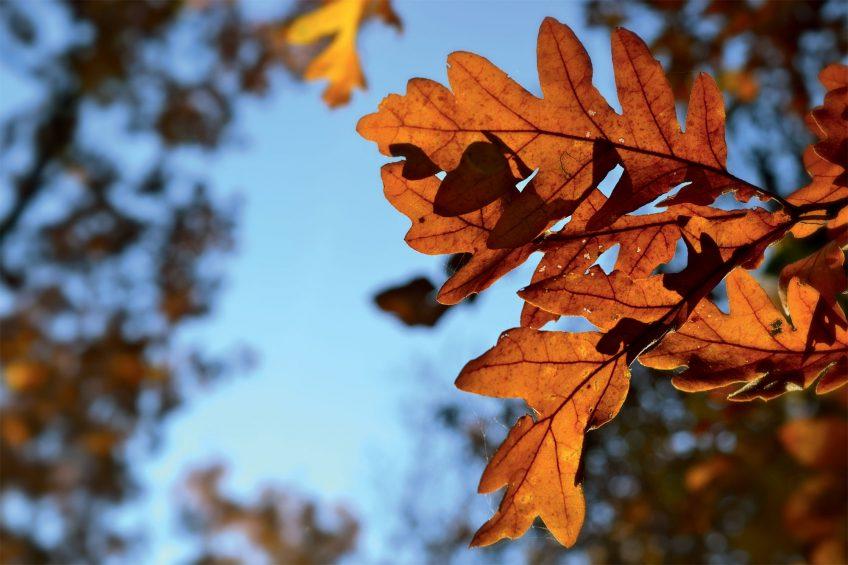 Le chêne pubescent garde ses feuilles mortes tout l'hiver.