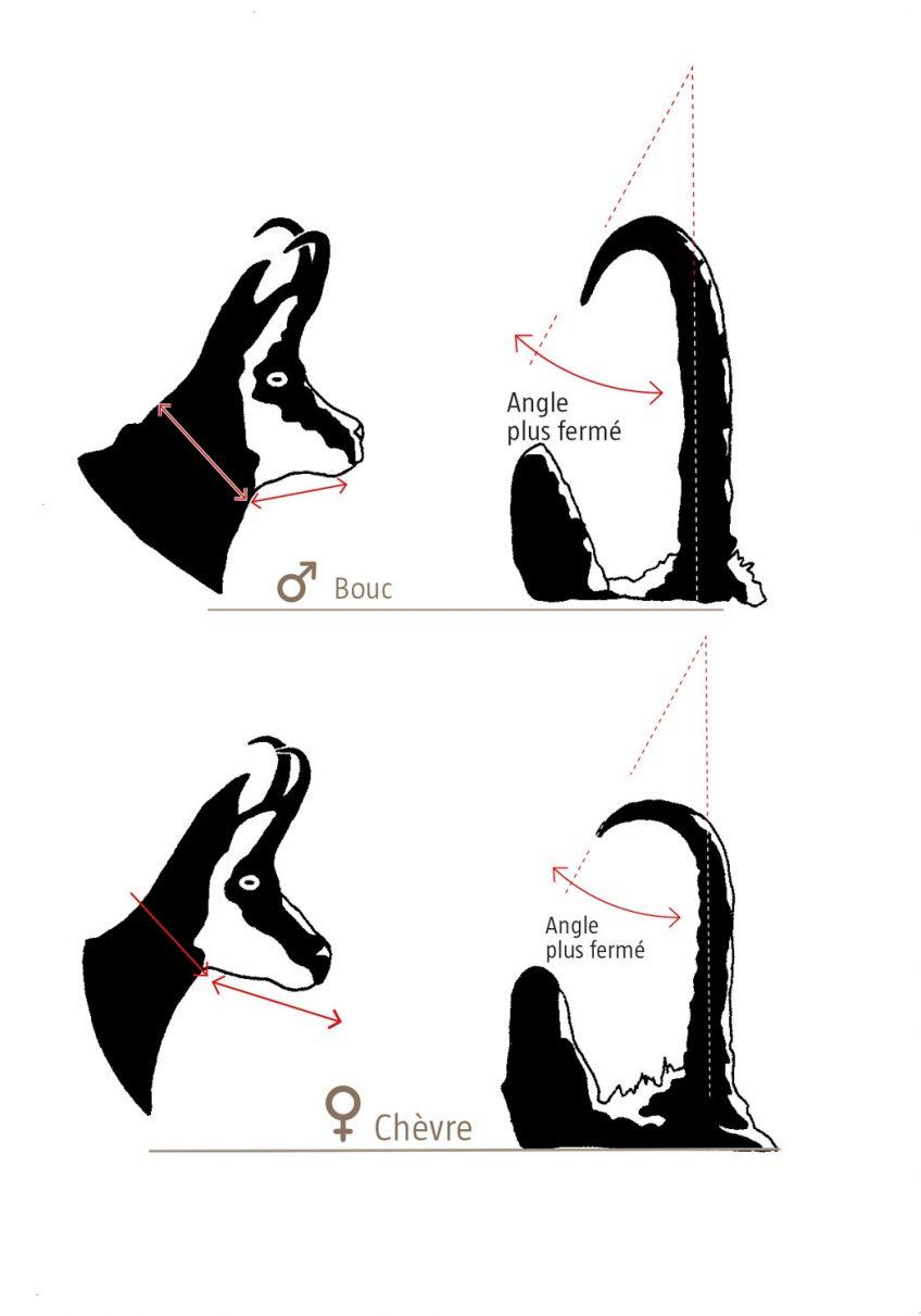 Différences entre chamois mâle et femelle