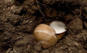 A l'abri dans une cavité et protégé par un opercule, cet escargot de Bourgogne est prêt à passer l'hiver.