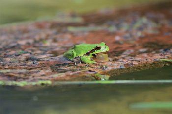 Au cœur du Jura, la synergie associative se mobilise pour un amphibien en danger: la rainette verte.