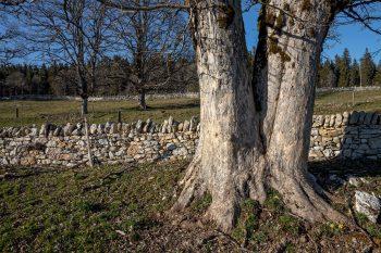 Vieux murs et érables sycomores pluricentenaires, à deux pas du col de la Vue des Alpes.