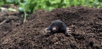 En creusant leurs galeries, les taupes facilitent le drainage du sol et améliorent son aération. Des services précieux qui incitent à tolérer quelques monticules sur sa pelouse.