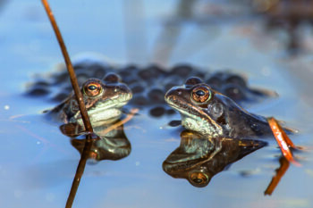 Two common frogs (Rana temporaria) on display during mating season in early spring with frogspawn in the background