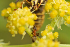 Guepe commune, Vespula vulgaris / © Tristan Vandenberghe