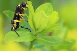 Macrophya montana (Tenthrède rustique)  / © Jean-Philippe Paul