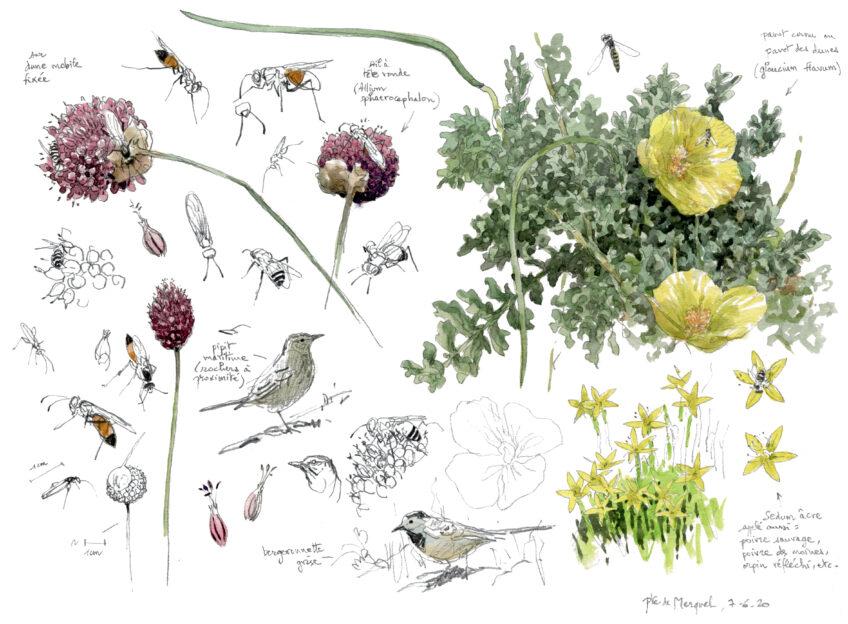 Plantes oiseaux et insectes de la dune