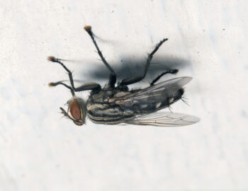 Pour tenir à l'envers, les mouches ont besoin d'avoir au moins quatre pattes en contact avec le  plafond. Pour déambuler dans ces conditions, elles ne déplacent donc que deux pattes à la fois.