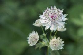 Admirez de près les fleurs discrètes et élégantes de la grande astrance. / © PIXATERRA - stock.adobe.com