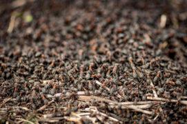 Il existe plusieurs espèces de fourmis des bois en Suisse, très difficiles à distinguer les unes des autres. / © Michele Ursi / stock.adobe.com