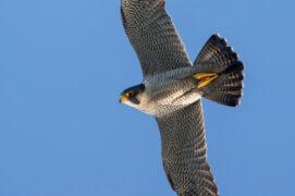Le faucon pèlerin fréquente  les alentours, ouvrez l'œil! / © Stock.adobe.com