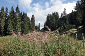 Les épilobes en épis fleurissent  jusqu'à la fin de l'été. / © Christine Wuillemin