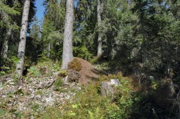Une zone ensoleillée au pied d'un épicéa: le paradis pour les fourmis des bois!