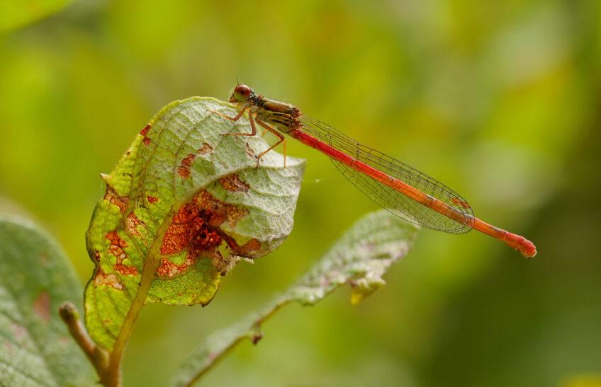 Libellule rouge Agrion délicat
