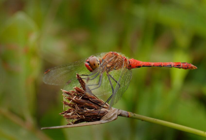 Libellule rouge - Sympetrum sanguin
