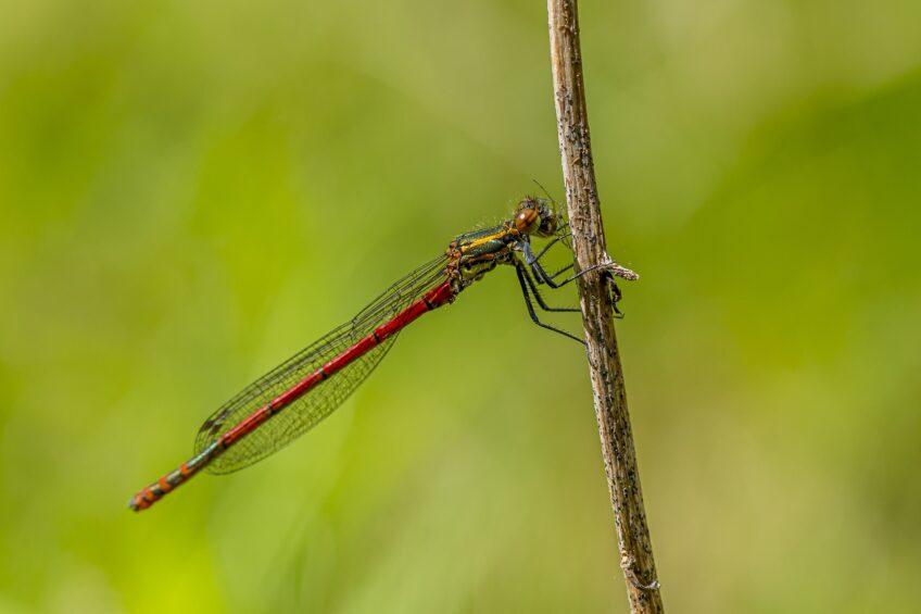 Libellule rouge - Petite nymphe à corps de feu