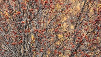 Gourmandise Sorbier des oiseleurs sur fond de mélèzes.  Un régal pour les oiseaux, et pour les yeux.