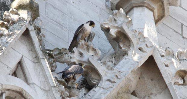 faucon-pelerin-bruxelles