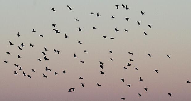 pigeons-ramiers