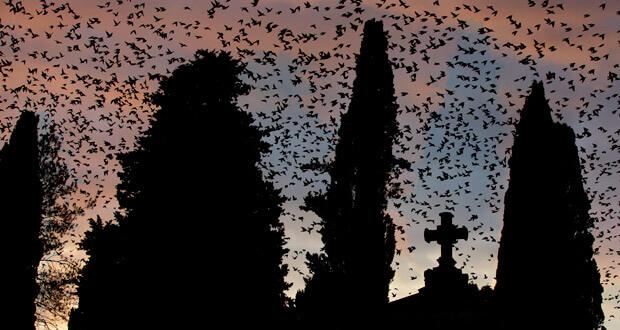 Vol d'étourneaux au cimetière du Verano (Rome, Italie)