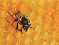Miel ou déconfiture