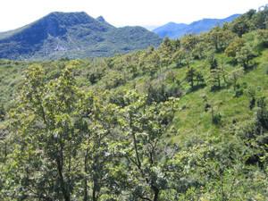 Habitat de Cicadetta sibillae