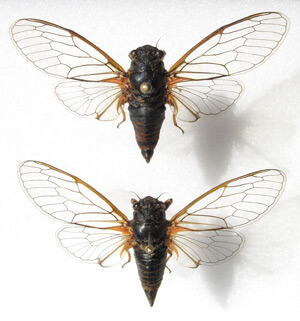 Cicadetta sibillae, comparaison mâle et femelle