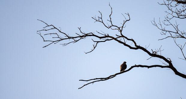 faucons-pelerins-assassines
