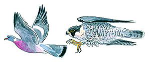 Le faucon pèlerin en chasse.